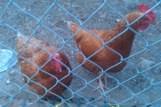 http://www.backyardchickens.com/forum/uploads/29172_imag0527.jpg