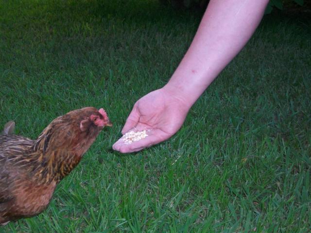 http://www.backyardchickens.com/forum/uploads/29492_100_0407.jpg