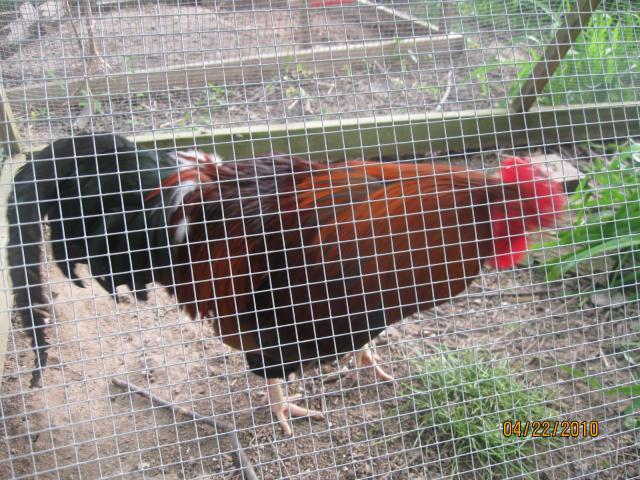 http://www.backyardchickens.com/forum/uploads/294_img_0228.jpg
