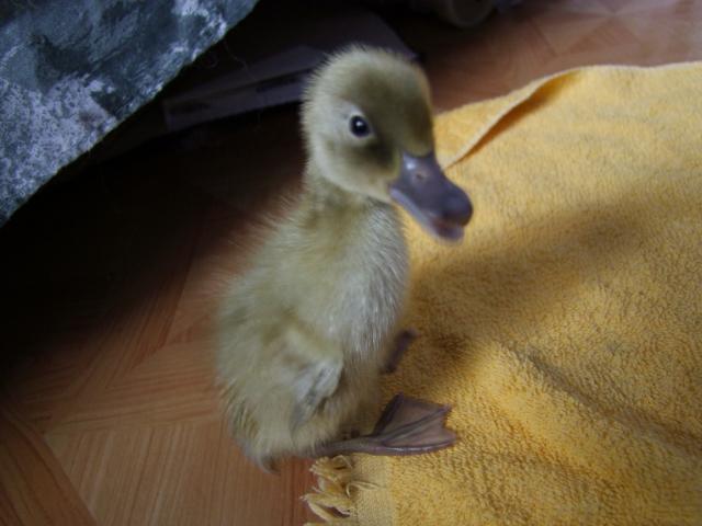 29737_ducks_005.jpg