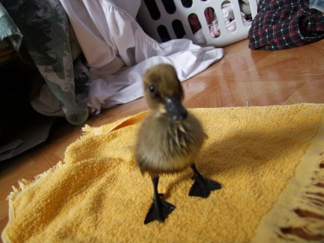 29737_ducks_008.jpg