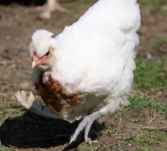 29956_chick_3.jpg