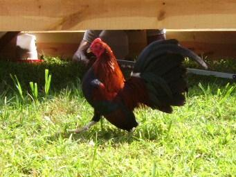 http://www.backyardchickens.com/forum/uploads/30249_bb_red_rooster.jpg