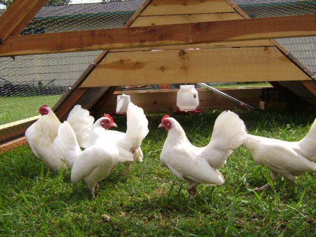 http://www.backyardchickens.com/forum/uploads/30249_sany0720.jpg