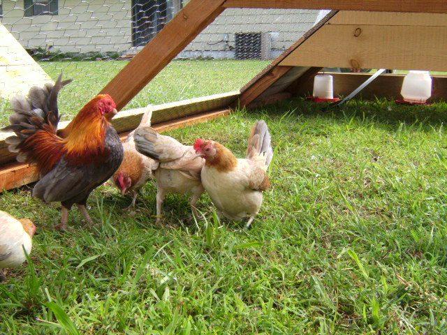 http://www.backyardchickens.com/forum/uploads/30249_sany0784.jpg