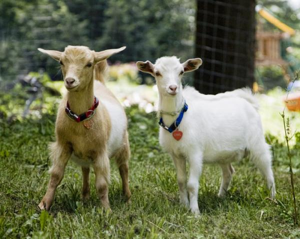 Fainting goats    what should I be feeding them? | BackYard Chickens