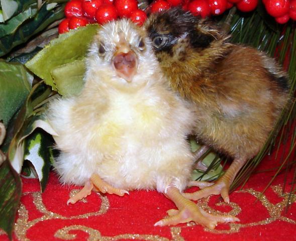 http://www.backyardchickens.com/forum/uploads/30473_splash_chick.jpg