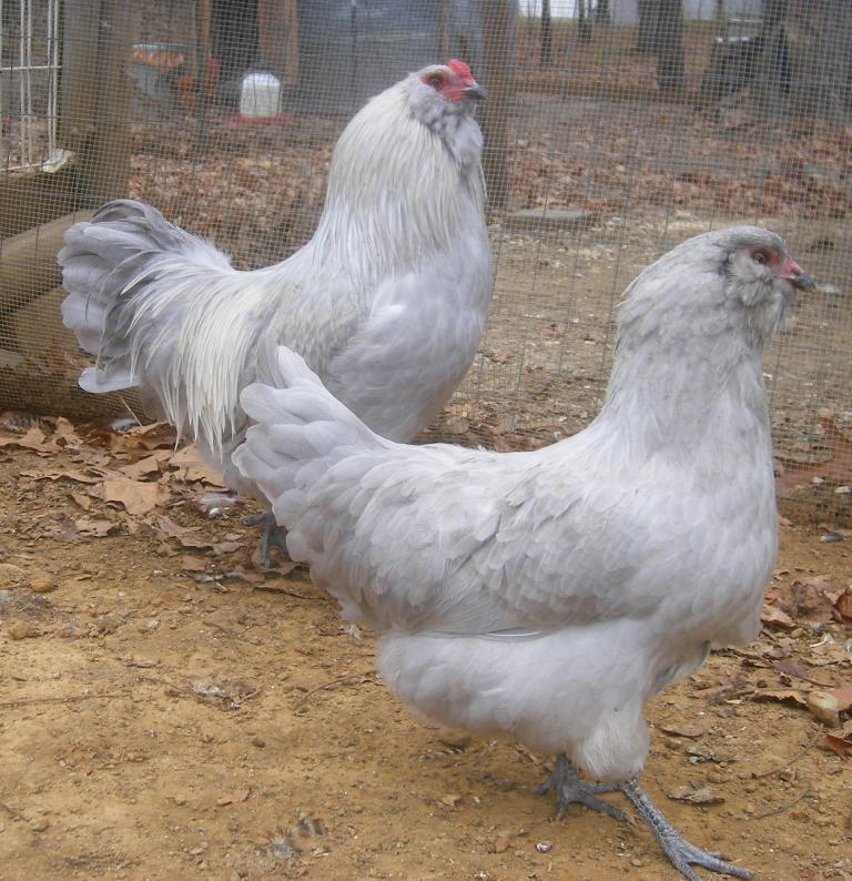 http://www.backyardchickens.com/forum/uploads/31282_11-12-2011m020a.jpg