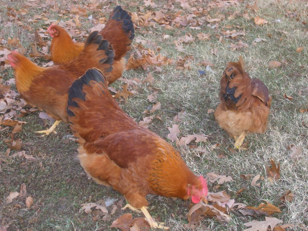 http://www.backyardchickens.com/forum/uploads/31282_11-19-2011a113.jpg