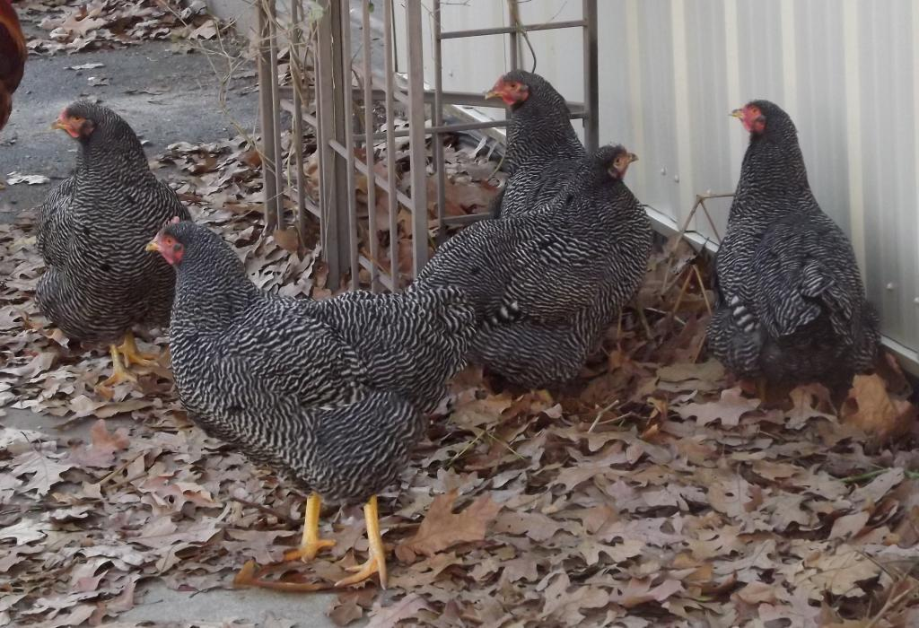 http://www.backyardchickens.com/forum/uploads/31282_11-29-11a031.jpg