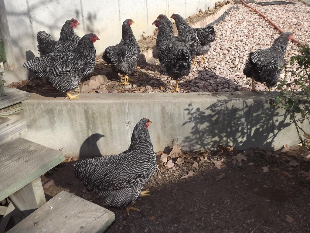 http://www.backyardchickens.com/forum/uploads/31282_12-01-2011mis034.jpg