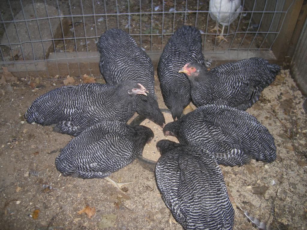 http://www.backyardchickens.com/forum/uploads/31282_8-25-11misc037.jpg