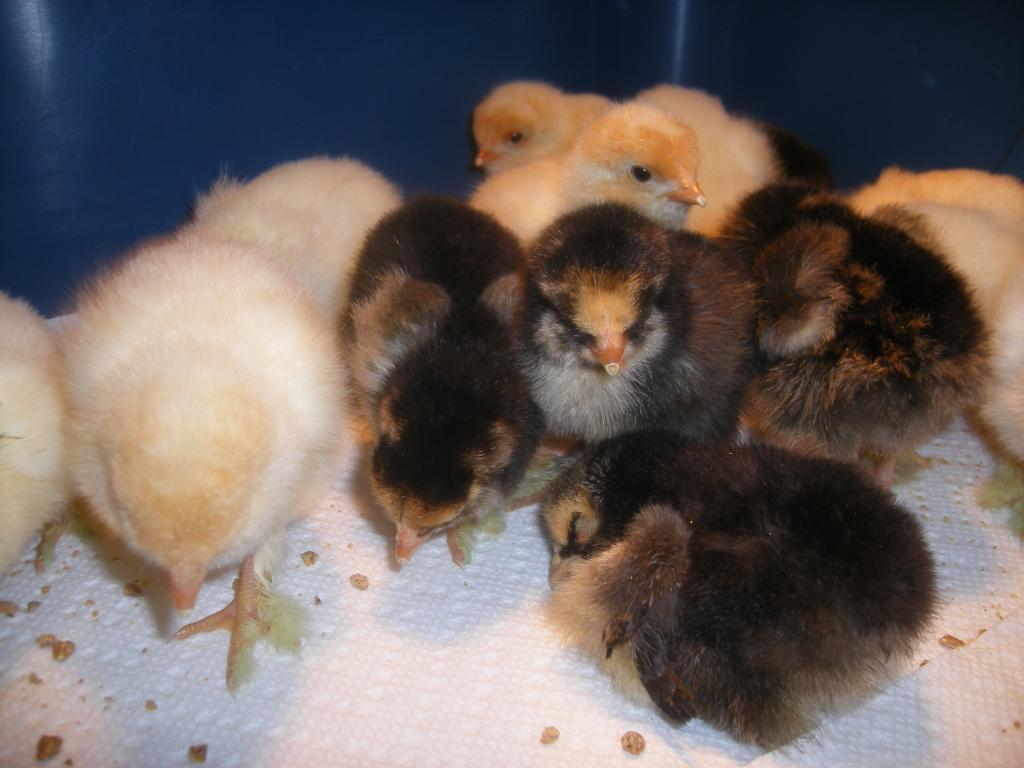 http://www.backyardchickens.com/forum/uploads/31282_brahmas004.jpg