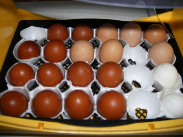 http://www.backyardchickens.com/forum/uploads/31282_dscf3390.jpg