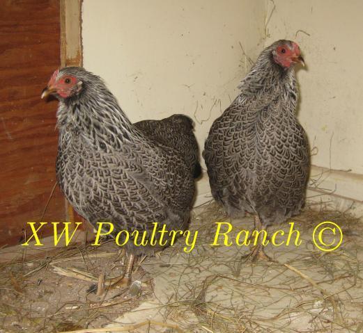 http://www.backyardchickens.com/forum/uploads/31282_woeppelbarredrocksnovember2010001.jpg