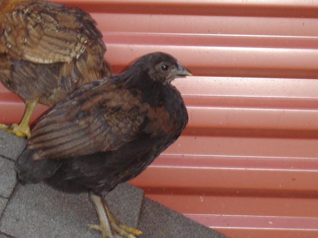 31407_chickens_016.jpg
