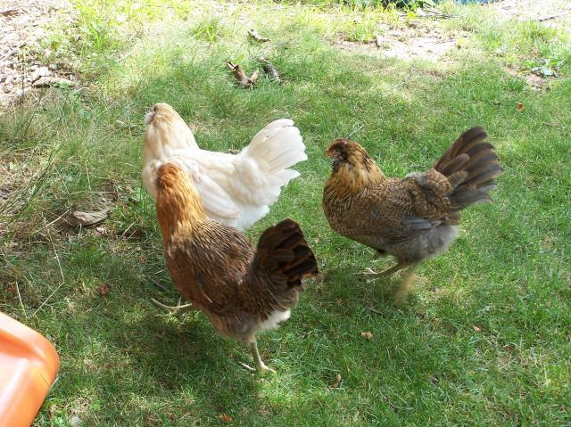 http://www.backyardchickens.com/forum/uploads/31803_231.jpg