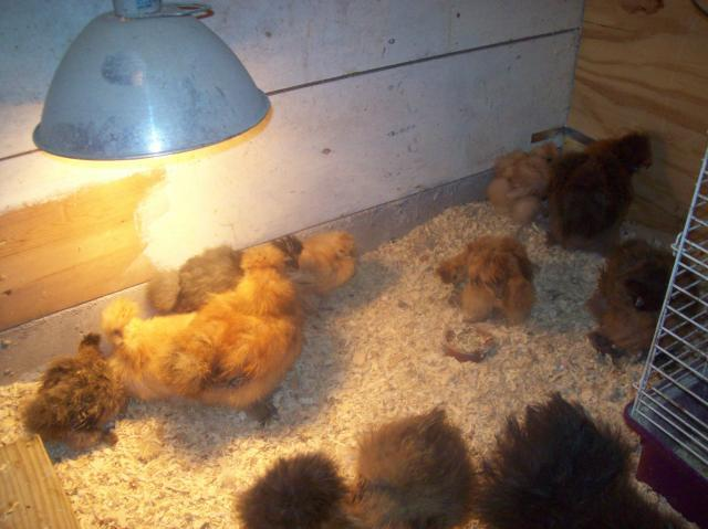 31967_henely_hatchery_chicks_169.jpg