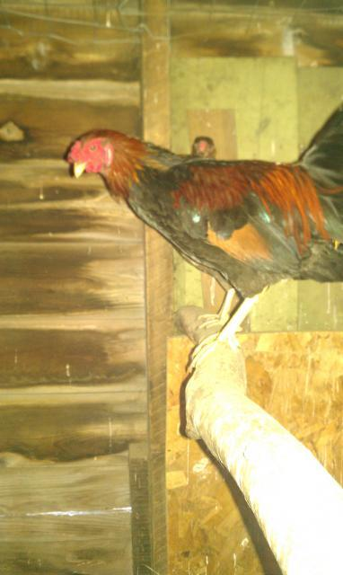 http://www.backyardchickens.com/forum/uploads/32016_imag0035.jpg