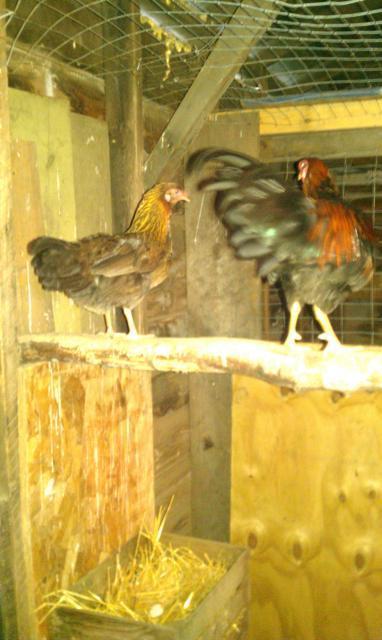 http://www.backyardchickens.com/forum/uploads/32016_imag0040.jpg