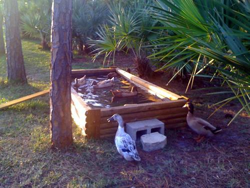 Backyard Chickens Duck Pond : httpwwwbackyardchickenscomforumuploads32762pondjpg