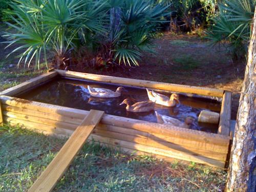 My duck pond for Backyard duck pond