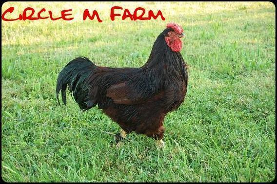 http://www.backyardchickens.com/forum/uploads/33115_alotosw1oa.jpg