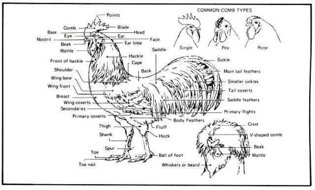 can someone help me understand hackle feathers and saddle