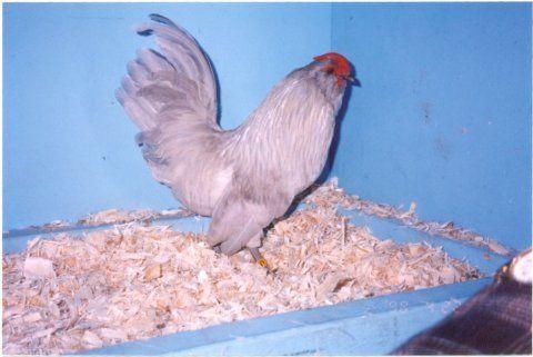http://www.backyardchickens.com/forum/uploads/33115_selfbluebelgiandanverbantammale.jpg