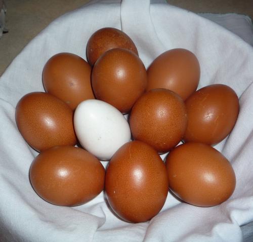 Dark Cuckoo Marans Hatching Eggs For Sale