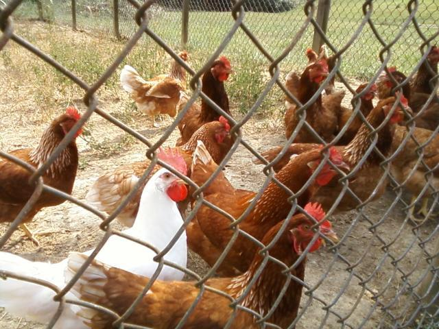 http://www.backyardchickens.com/forum/uploads/33744_0901111621d.jpg