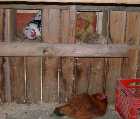 http://www.backyardchickens.com/forum/uploads/33744_dsc04727e.jpg