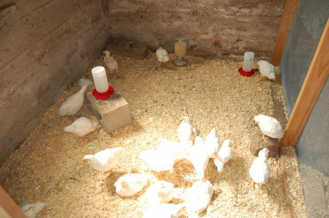 33773_chickens_2009_014.jpg
