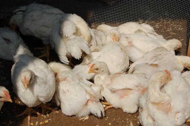 33773_chickens_2009_033.jpg