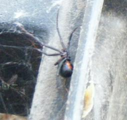 http://www.backyardchickens.com/forum/uploads/33828_blackwidow1.jpg