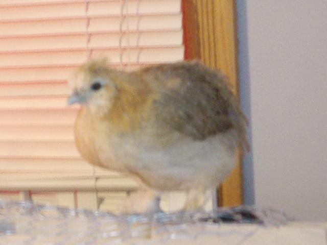 34108_mostly_chickens_049.jpg