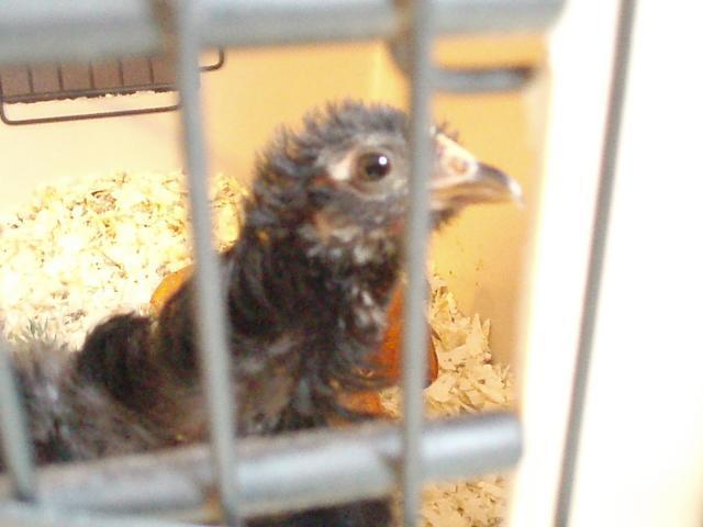 34108_mostly_chickens_055.jpg