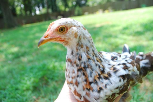 http://www.backyardchickens.com/forum/uploads/34304_dsc_0339.jpg