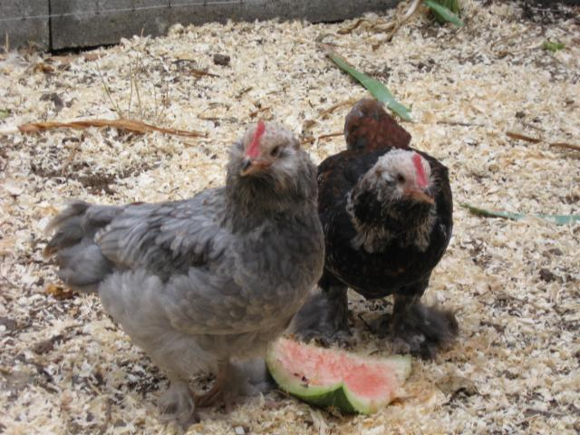 http://www.backyardchickens.com/forum/uploads/34342_2009_pepe_pierre.jpg