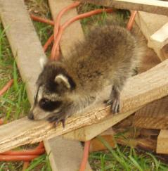 Racoon kit on woodpile