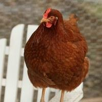 http://www.backyardchickens.com/forum/uploads/34566_animals-11.jpg