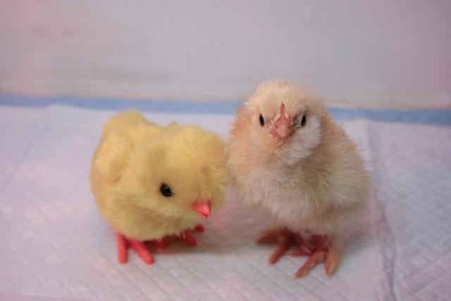34566_chick1.jpg