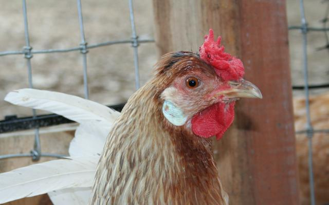 http://www.backyardchickens.com/forum/uploads/34566_henna-2.jpg