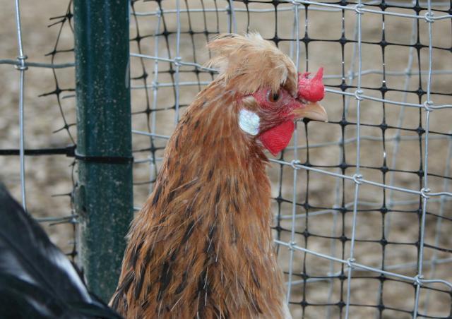 http://www.backyardchickens.com/forum/uploads/34566_henna-4.jpg