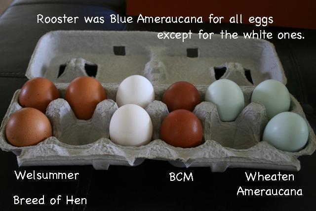12+ Test Eggs! ~Olive eggers~ Blue egg layers~and White egg layers~!
