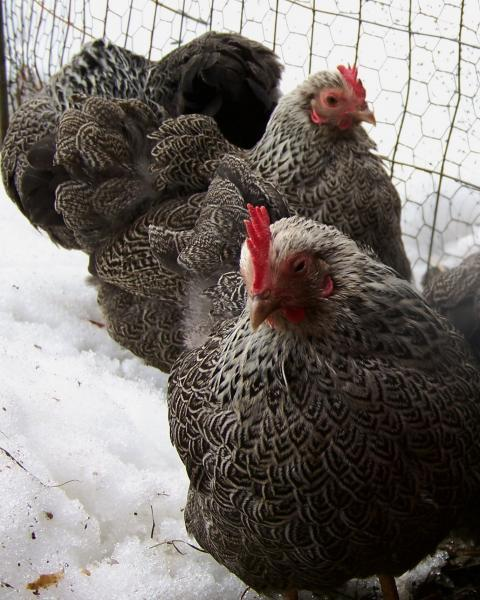 12+ Silver Penciled Plymouth Rock Bantam Eggs...From SQ Flock