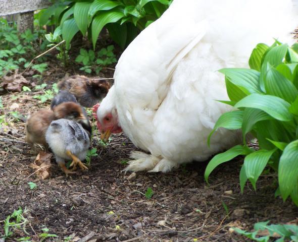 34879_nilla_with_chicks.jpg