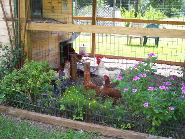 Delicieux BackYard Chickens