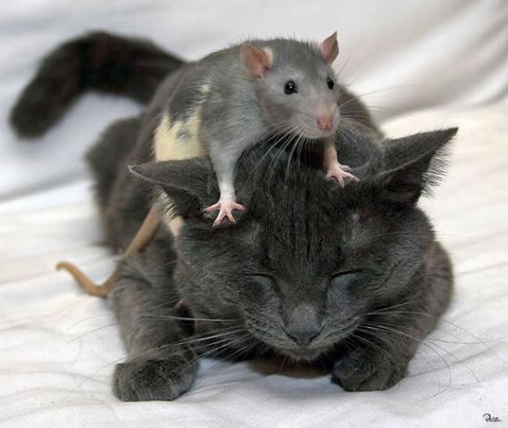 35494_cat_amp_mouse.jpg