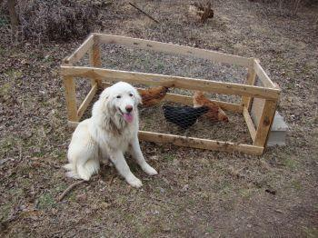 3579_koda_and_chickens.jpg